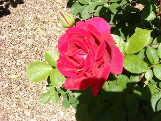 Rose- A Woody Perennial