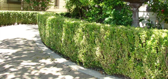 Low Hedge Wall